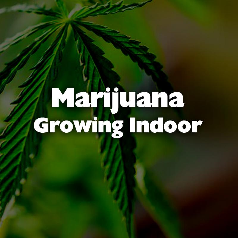 Marijuana Growing Indoor