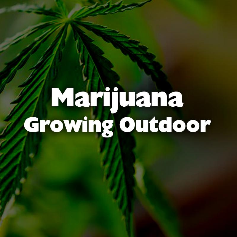 Marijuana Growing Outdoor
